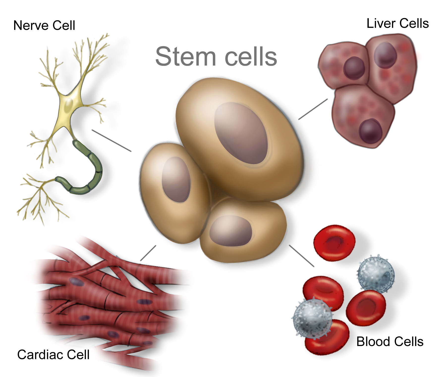 Why Stem: What Are Stem Cells