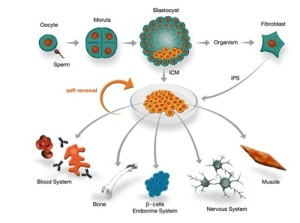 embyonic stem cell