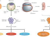 types of stem cells